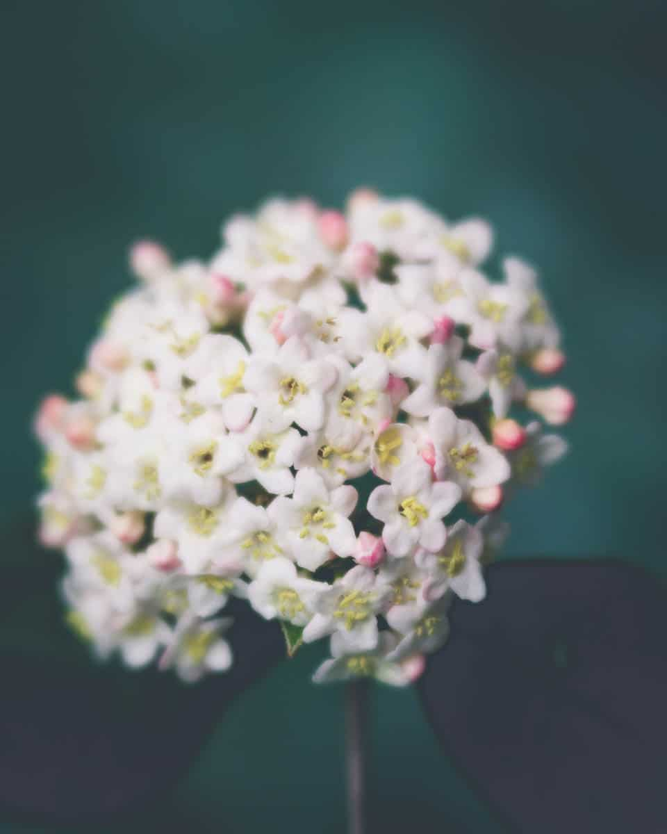 blur in photography, intentional blur photography, lensbaby, bokeh, intentional camera movement | Photography Playground, Photo: Viburnum shot with Lensbaby Velvet 56 - - Photographer Stacey Hill