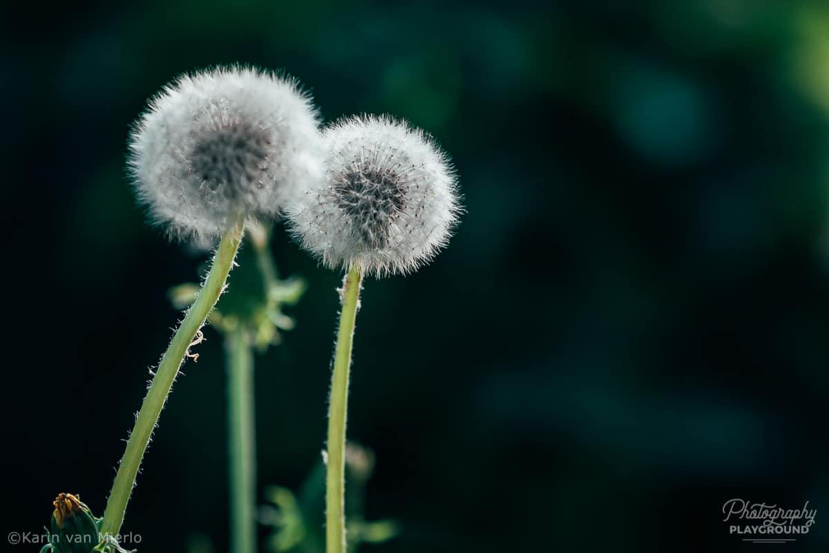 bokeh background, bokeh effect, bokeh photography | Photo:  Dandelion | © Karin van Mierlo, Photography Playground